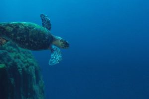Turtle at Amazon Reef